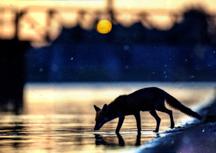 Sous l'œil du renard
